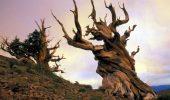 Cei mai bătrâni copaci din lume