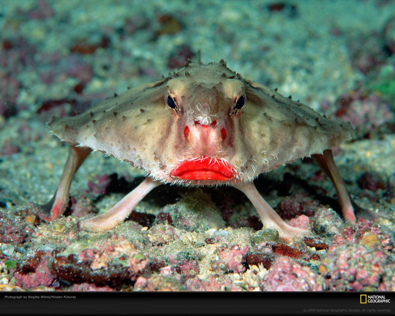RosyLippedBatfish