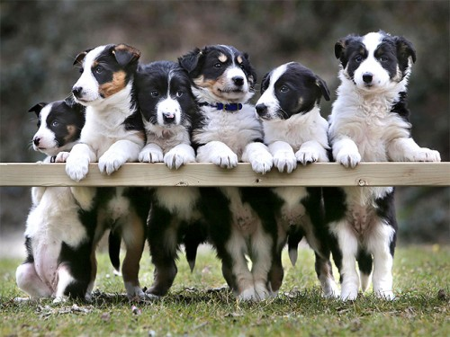 border-collies-660