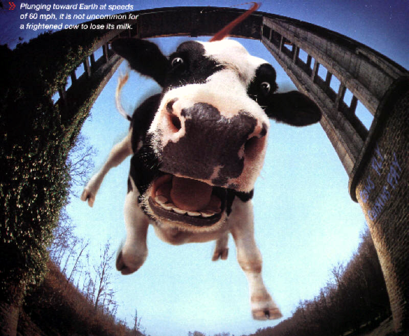 bungee_jumping cow