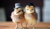 chicks-hats-660