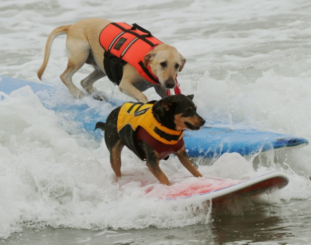dogs-surfing