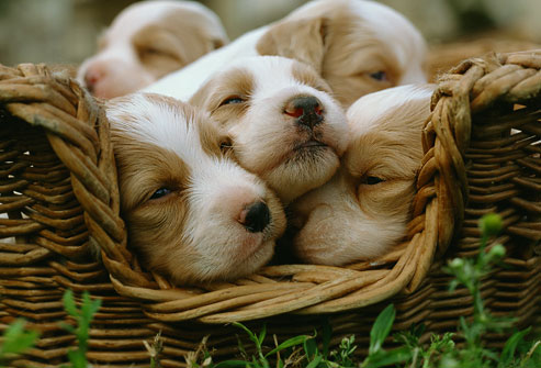 getty_rf_photo_of_puppies_in_basket
