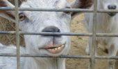 N-ai vazut cumva o capra?