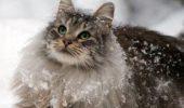 Norvegiana de pădure, pisica vikingilor
