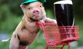 pig-beer-495