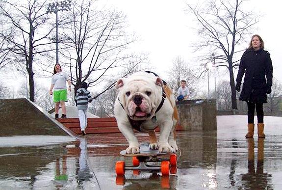 skateboarding-bulldog