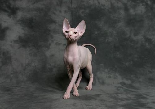 sphynx_cat
