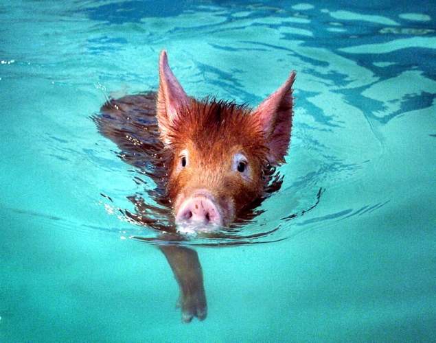 swimming-pig2