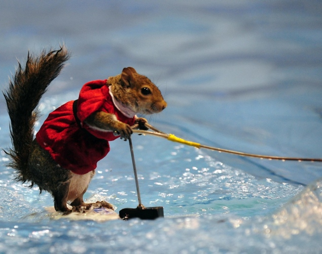 water-skiing-squirrel