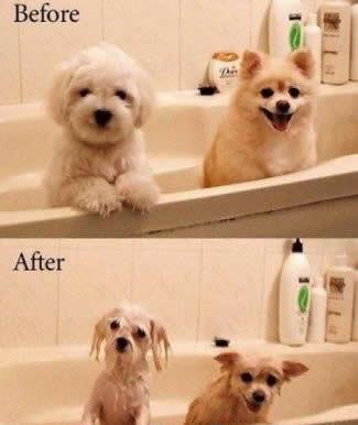 8643-dogs-taking-bath