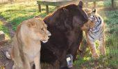Arca lui Noe: Un urs, un leu şi un tigru sunt cei mai buni prieteni