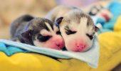 Album de familie! O şedinţă foto cu doi puiuţi de Husky abia veniţi pe lume