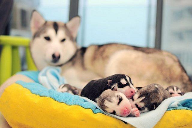 Newborn husky, very cute (3)