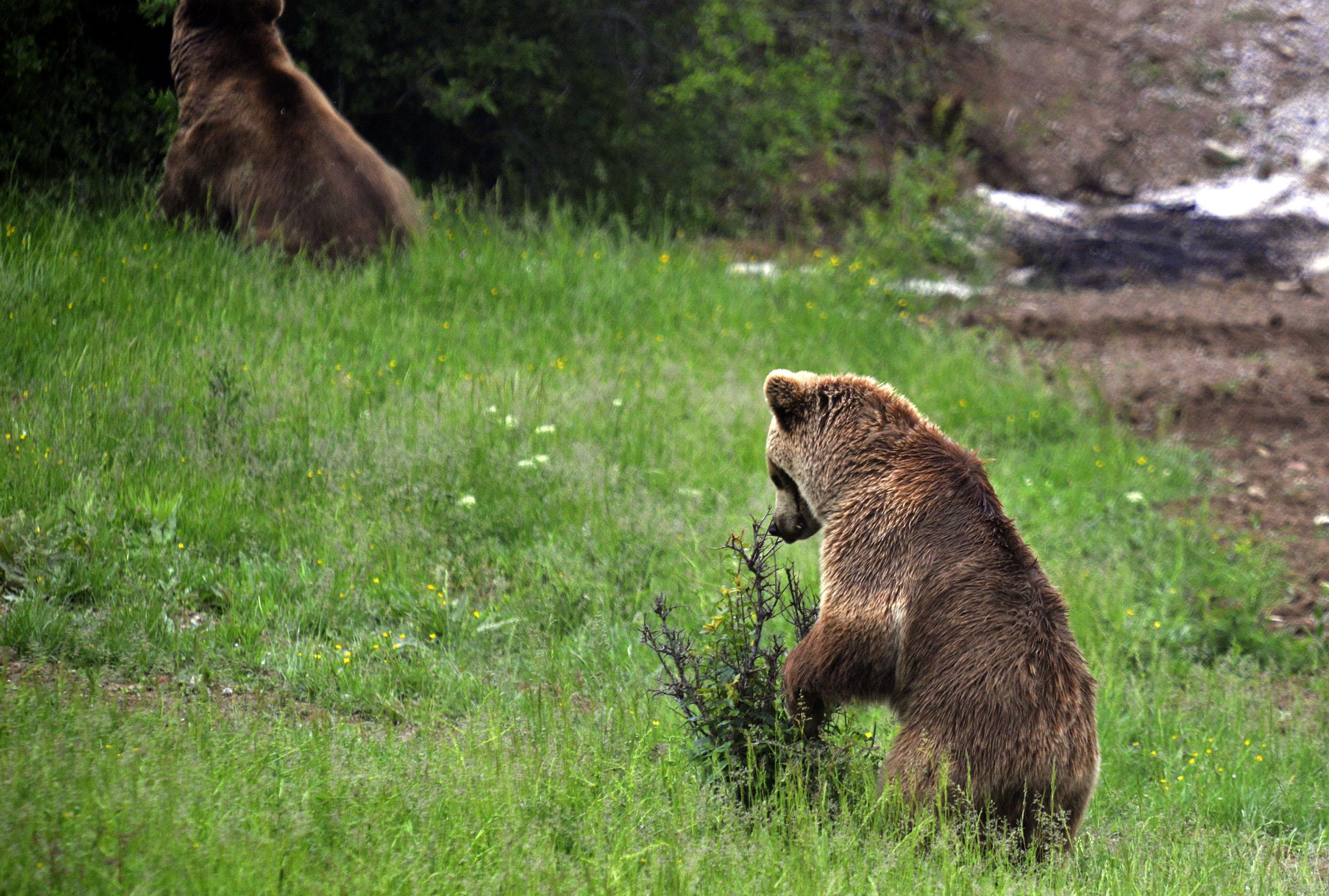 BROWN BEARS RESCUE IN KOSOVO 2013