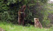 Au salvat urșii de restaurant din Kosovo | Imagini emotionante!