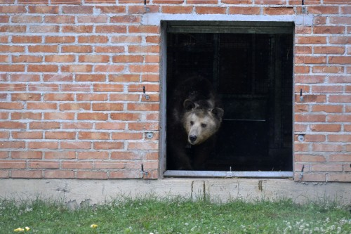 BROWN BEARS RESCUE IN KOSOVO 2013
