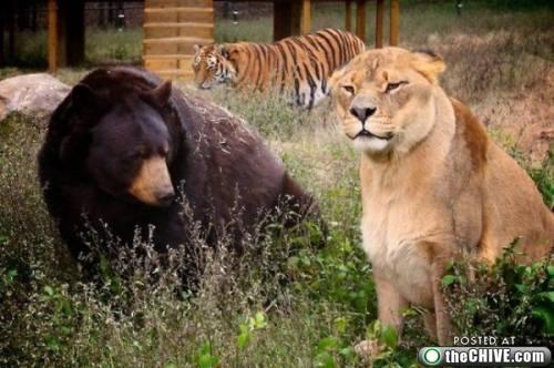 a-lion-tiger-bear-friend-6