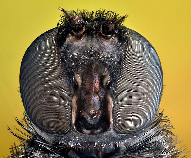 bee-fly-Hemipenthe_2508292k