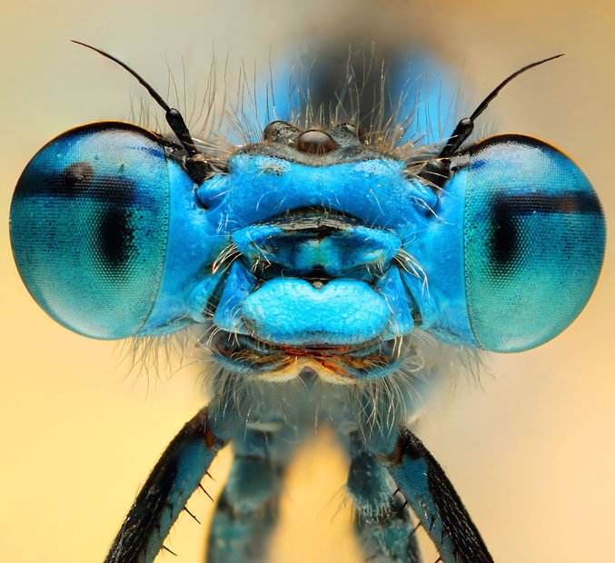 blue-damselfly_2508293k