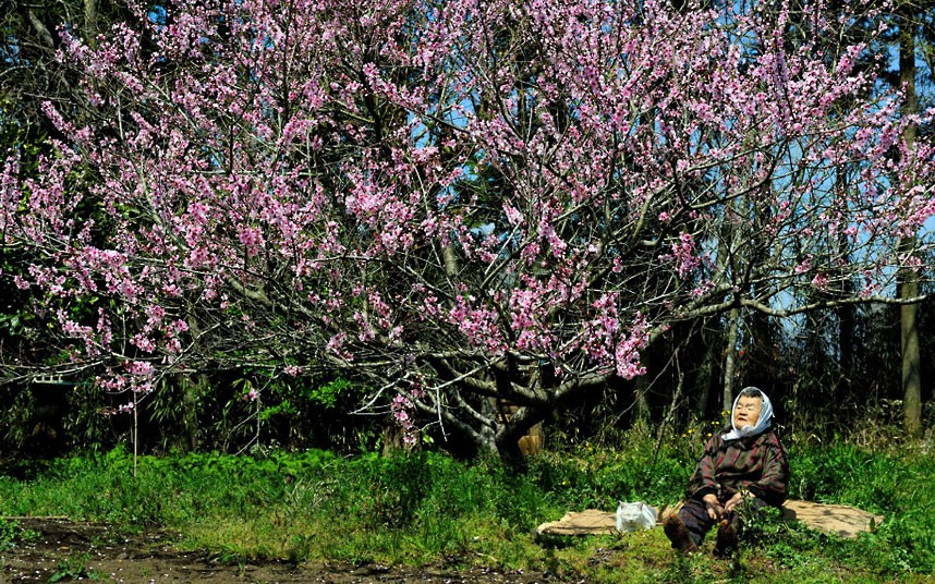 cherry-blossom_2407636k