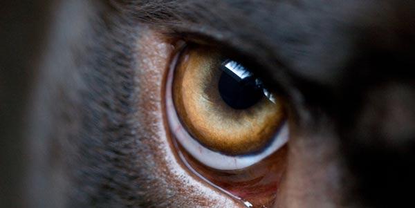 dog-eye-4