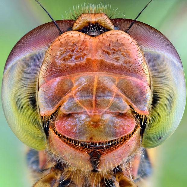 dragonfly-smiling_2508299k