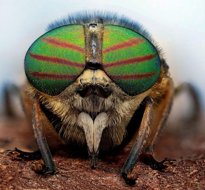 horse-fly-Tabanida_2508300k