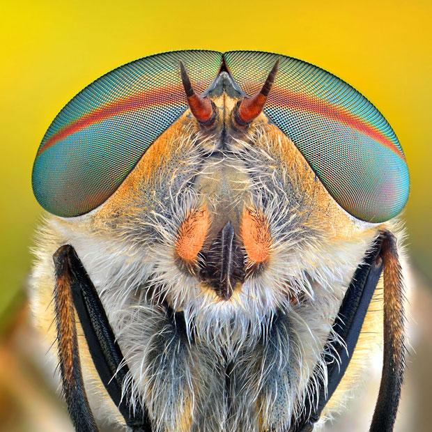 horse-fly-Tabanus_2508303k