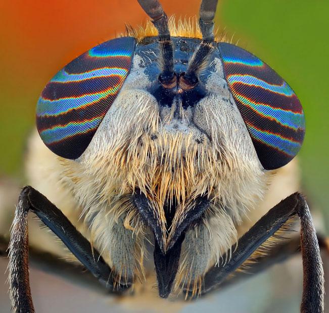 horsefly-mosaic-ey_2508304k
