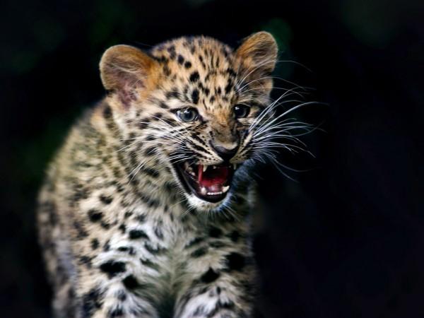 leopardul amur