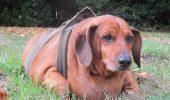 """Obie, Tekelul obez, primul câine intrat în program de slăbire """"Weight Watchers"""" Vezi cum arată acum!"""