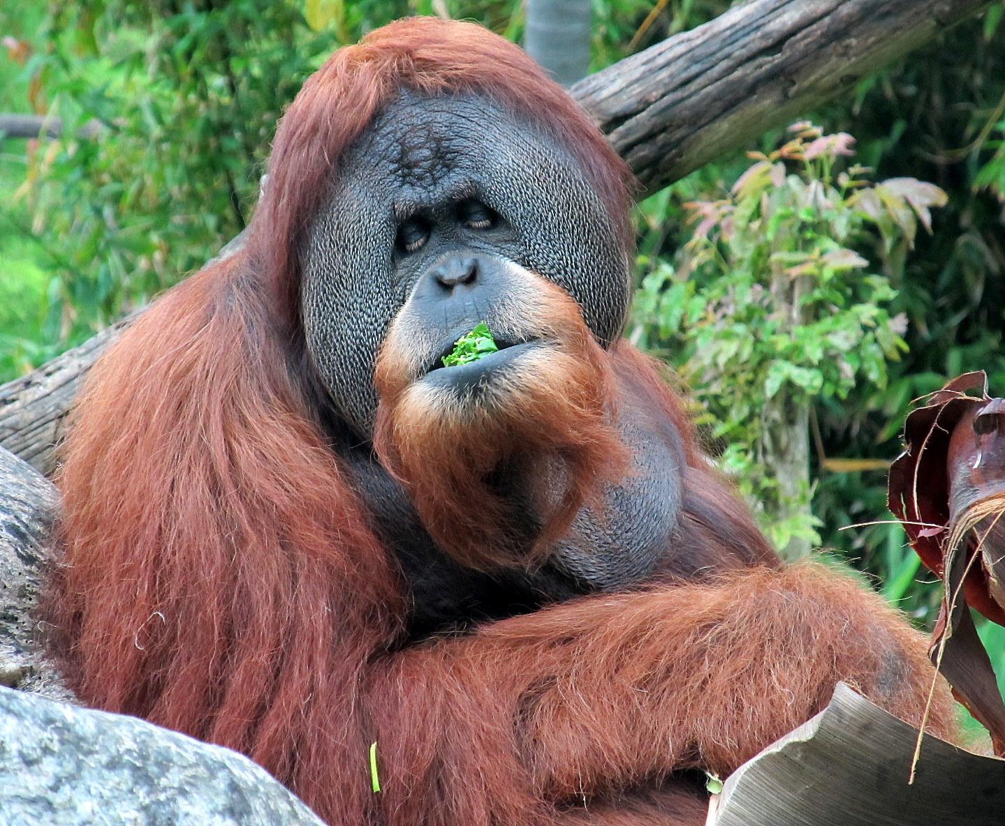 orangutan - endangered species - Satu -