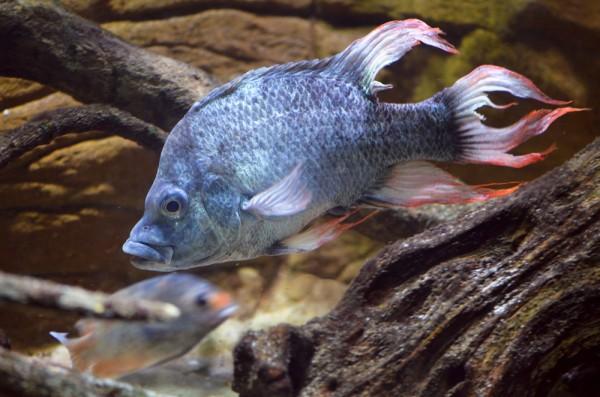 peste fish