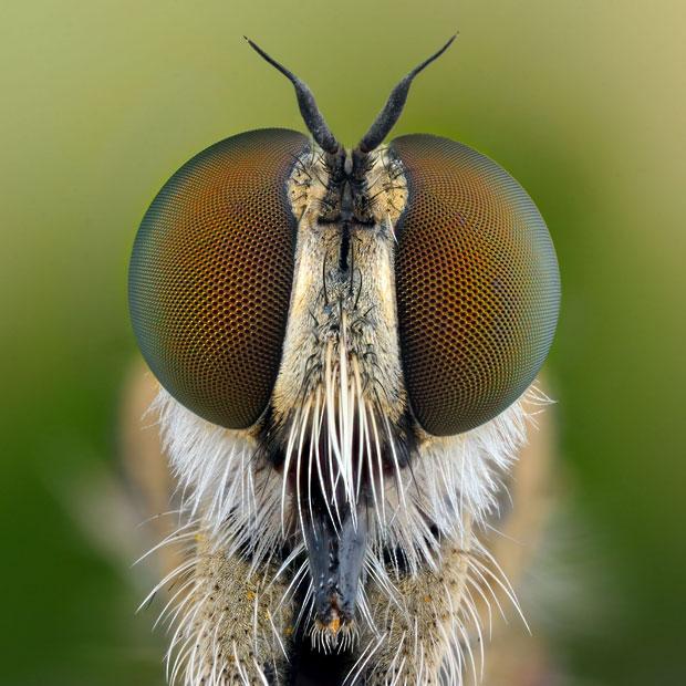 robber-fly-Asilida_2508311k