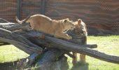 O familie de lei şi una de tigri, din Oneşti, au primit şansa la o viaţă normală