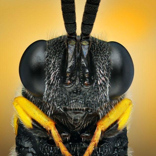 small-wasp_2508313k