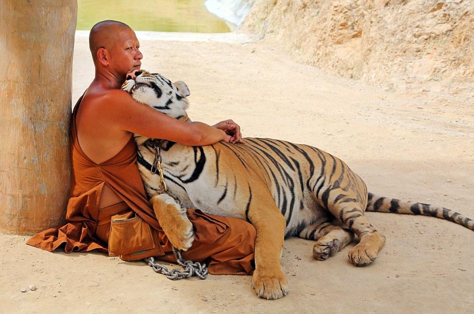 Tigers at the Tiger Temple in Kanchanaburi, Thailand - 26 May 2013
