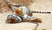 Un om şi tigrul lui! Un Budist în trandreţuri cu pisica lui cea mare… unul dintre cei o sută de tigri crescuţi de călugări | FOTO + VIDEO