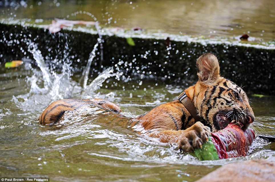 tigru 4