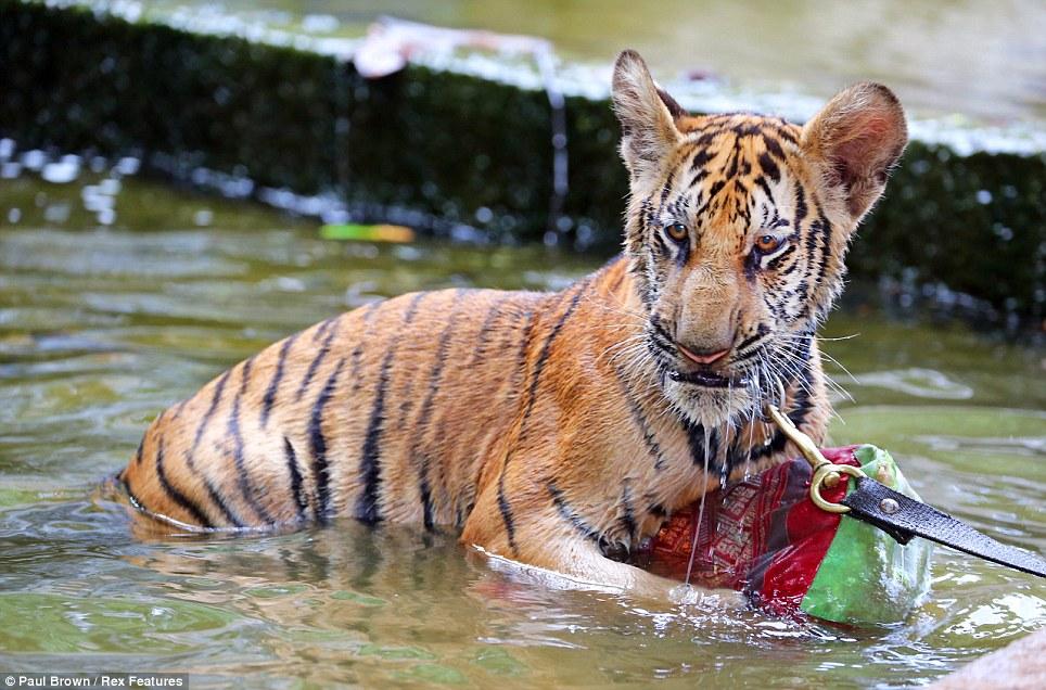 tigru 5