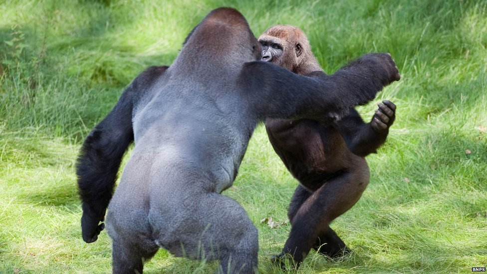 _62314696_gorilla1