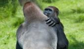 _62314698_gorilla2
