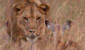 O leoaică a adoptat un pui de antilopă după ce i-a omorât mama. Imagini impresionante!