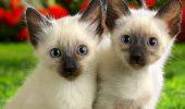 Au CUCERIT omenirea. URMAŞELE felinelor SACRE din Siam /VIDEO