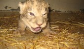 angry_lion_cub