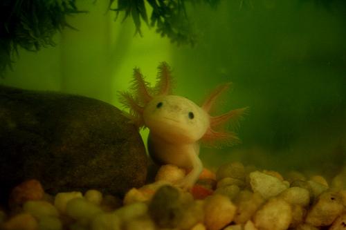 axolotl6rm8