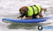 funny-dogs-surfing-on-wave-water-sea-pics-images-10