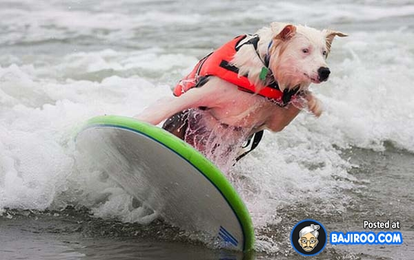 funny-dogs-surfing-on-wave-water-sea-pics-images-11