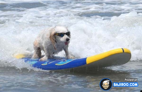 funny-dogs-surfing-on-wave-water-sea-pics-images-13